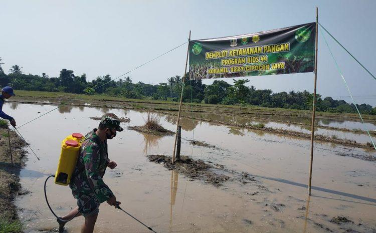Koramil 0227 Cipocok Jaya Kodim 0602/Serang, Uji Coba Bios-44 Di lahan 4 Hektar