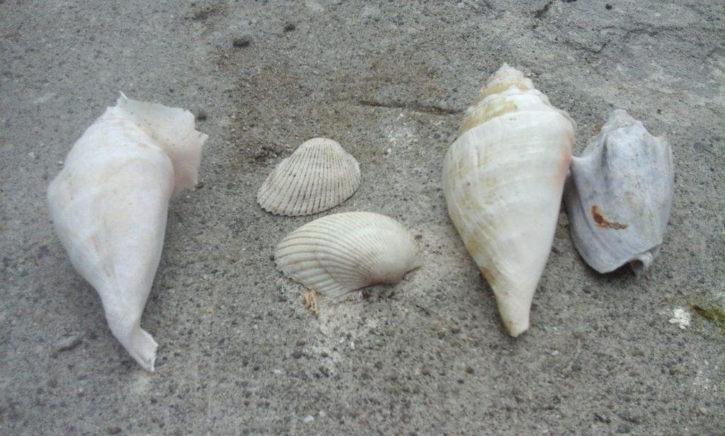 Menjejaki Potensi dan Bahan Baku Souvenir Kerang Laut Di Pesisir Pantai Batangmata